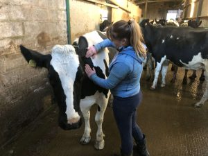 Cow/Ruminant, Massage, Assessment